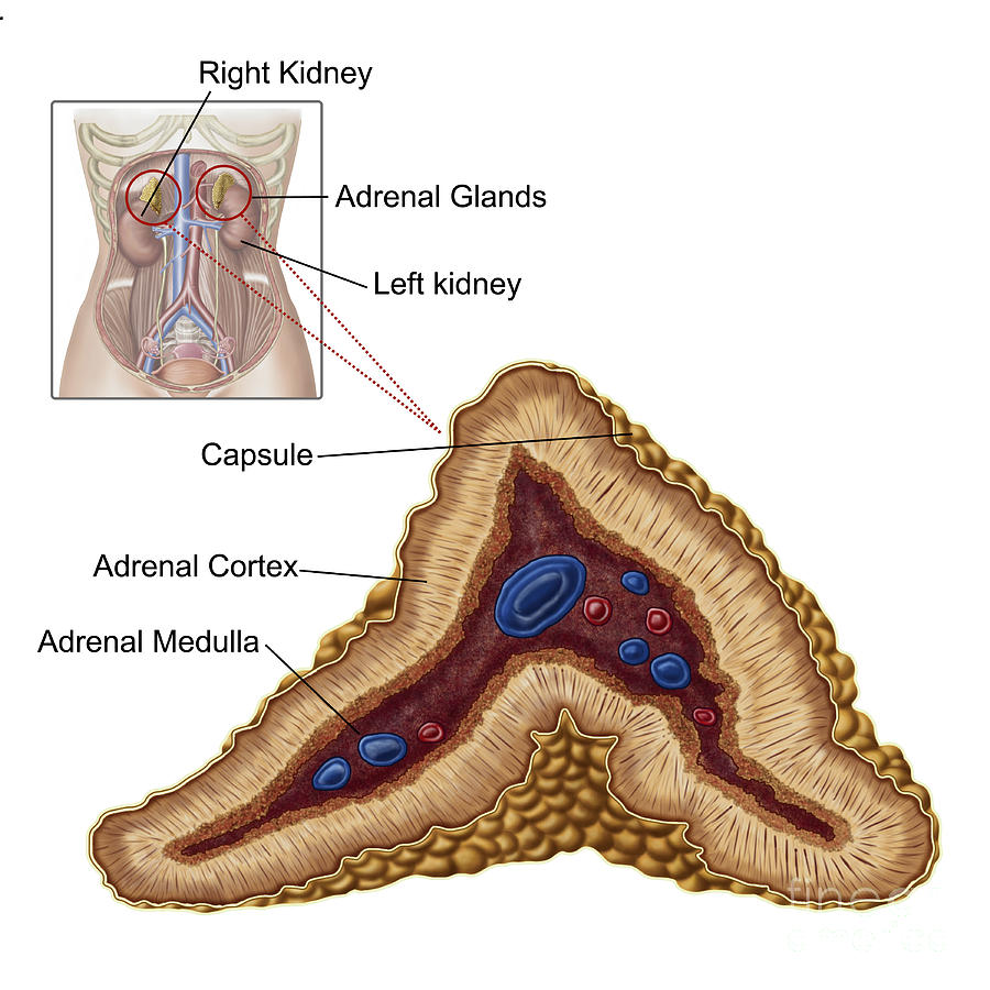 Anatomy Of Adrenal Gland, Transverse by Stocktrek Images