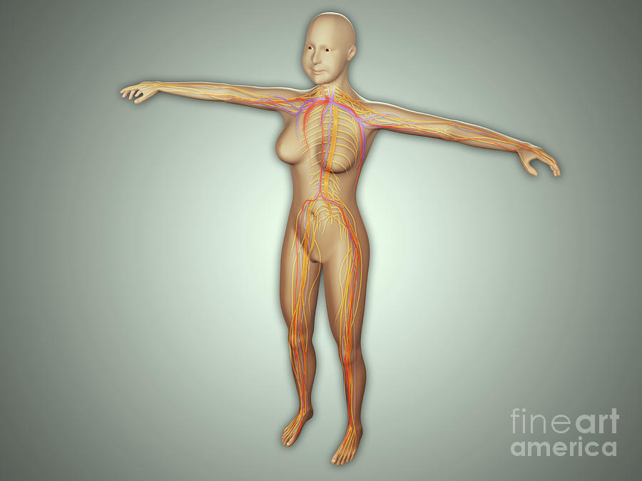 Anatomy Of Female Body With Arteries Digital Art  - Anatomy Of Female Body With Arteries Fine Art Print