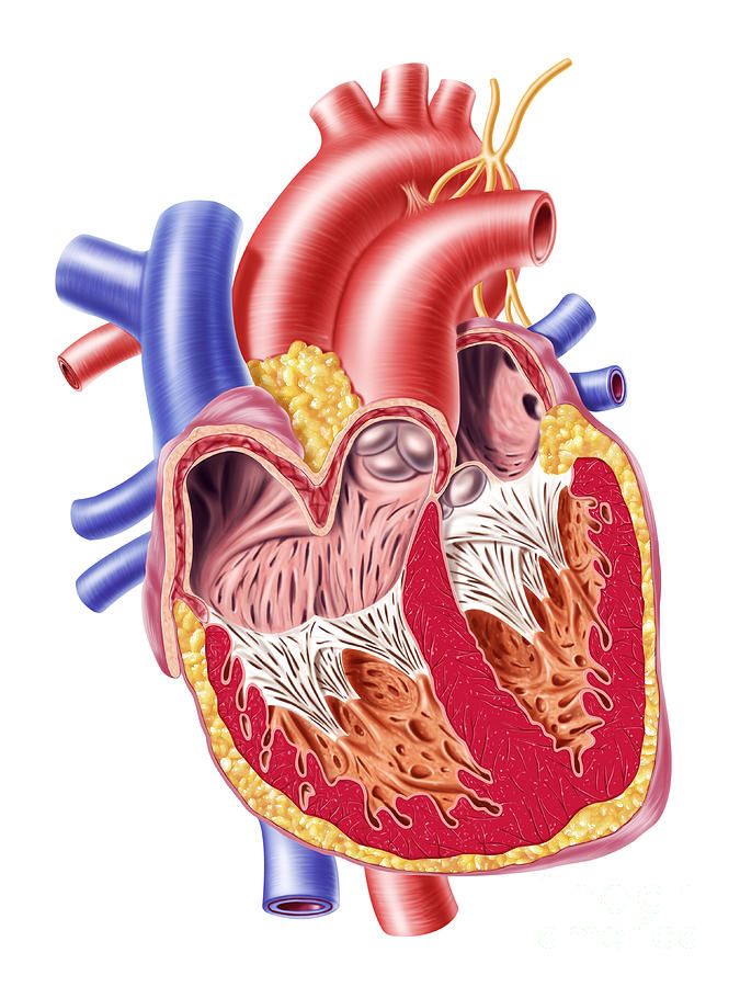 Anatomy Of Human Heart, Cross Section Digital Art