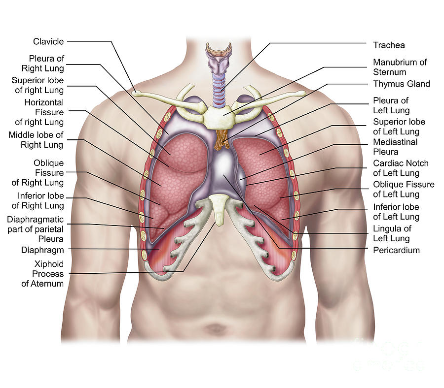 Lungs Diagram Of A Smoker After Smoking Cancer Anatomy And Heart