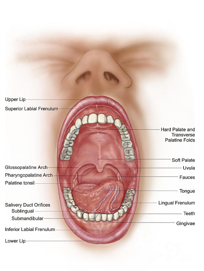 Anatomy Of A Mouth 89