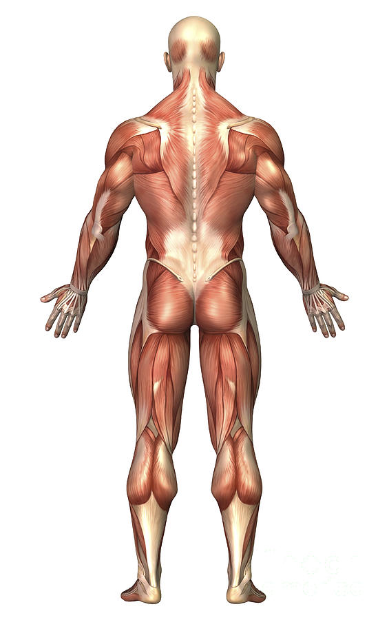 Anatomy Of Male Muscular System, Back Digital Art