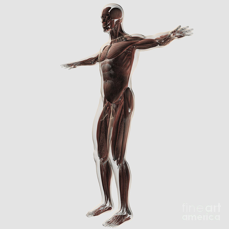 Anatomy Of Male Muscular System, Side Digital Art