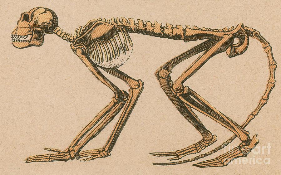 Ancient Monkey Mesopithecus Pentelicus Photograph
