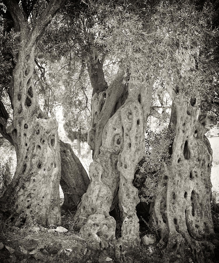 Ancient Olive Photograph