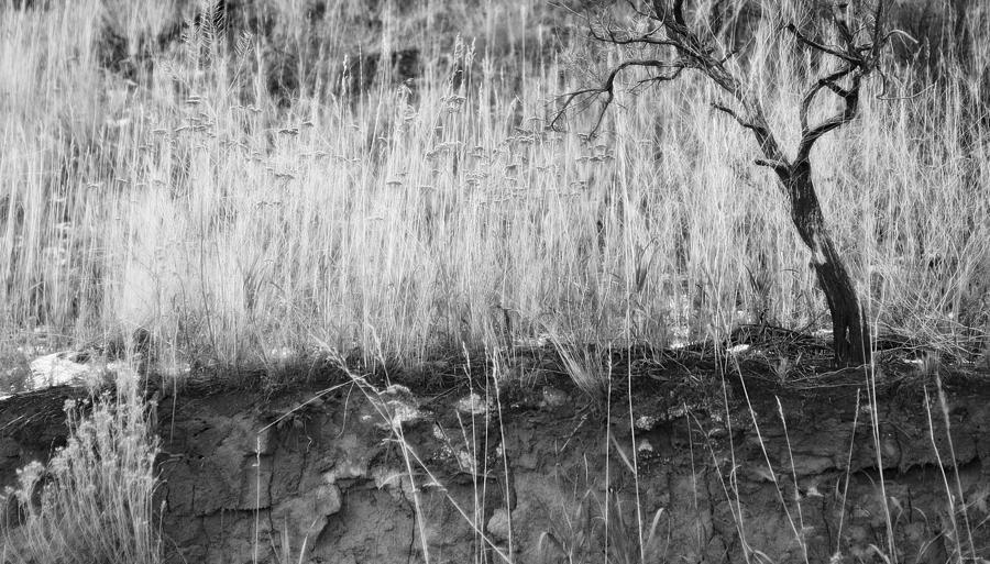 Ancient Sagebrush 2 Photograph  - Ancient Sagebrush 2 Fine Art Print