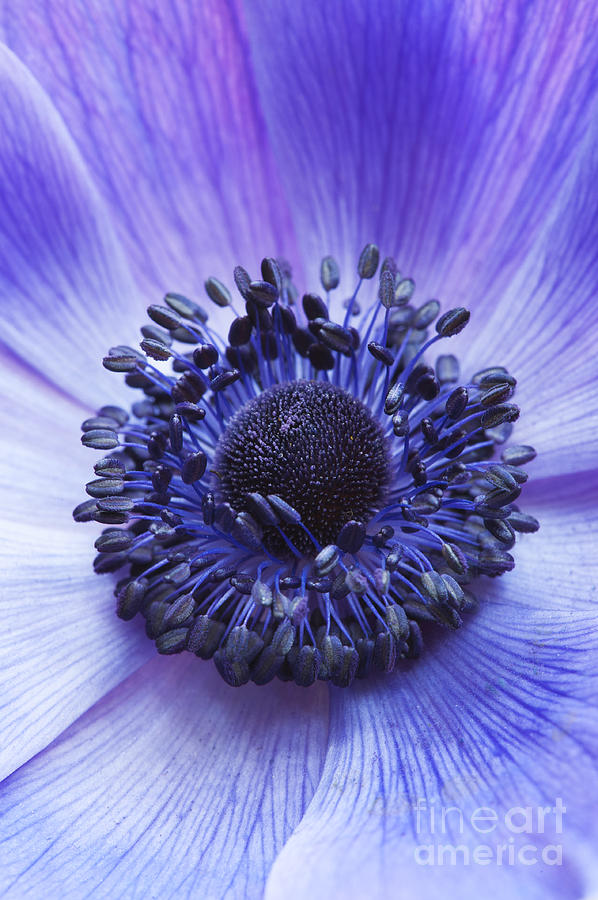 Anemone Coronaria Photograph - Anemone Coronaria by Tim Gainey