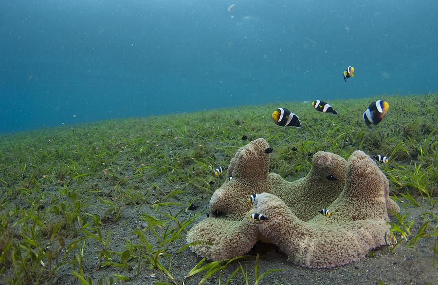 Amphiprion Polymnus Photograph - Anemonefish In Seagrass In Indonesia by Science Photo Library
