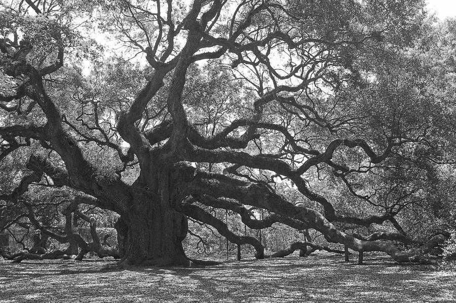 Angel Oak II - Black And White Photograph
