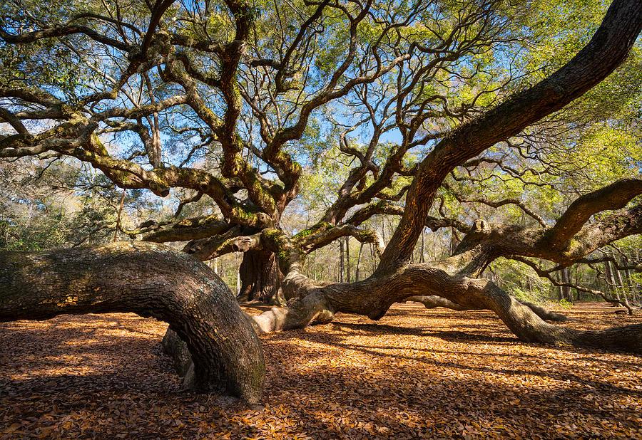 Angel Oak Photograph - Angel Oak Tree Charleston Sc by Dave Allen