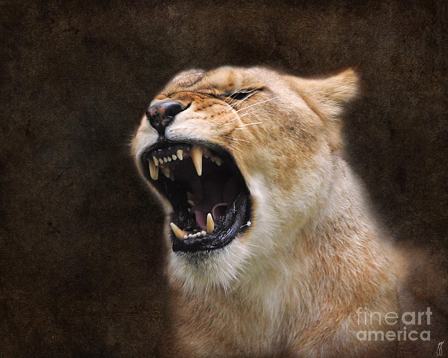 Angry Lioness Photograph by Jai Johnson
