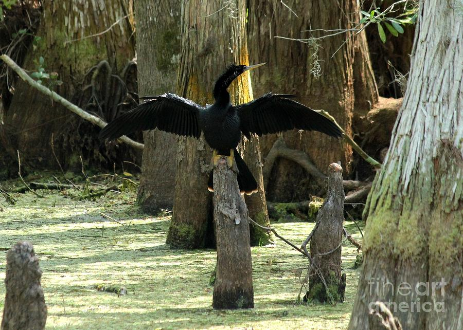 Anhinga At Rest Photograph  - Anhinga At Rest Fine Art Print