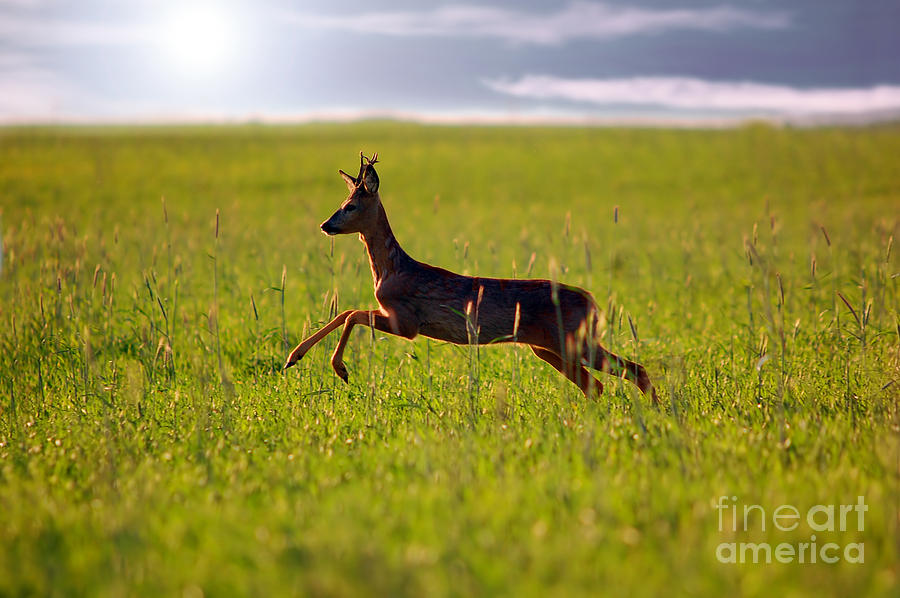 Animal Background. Roe-deer Photograph  - Animal Background. Roe-deer Fine Art Print