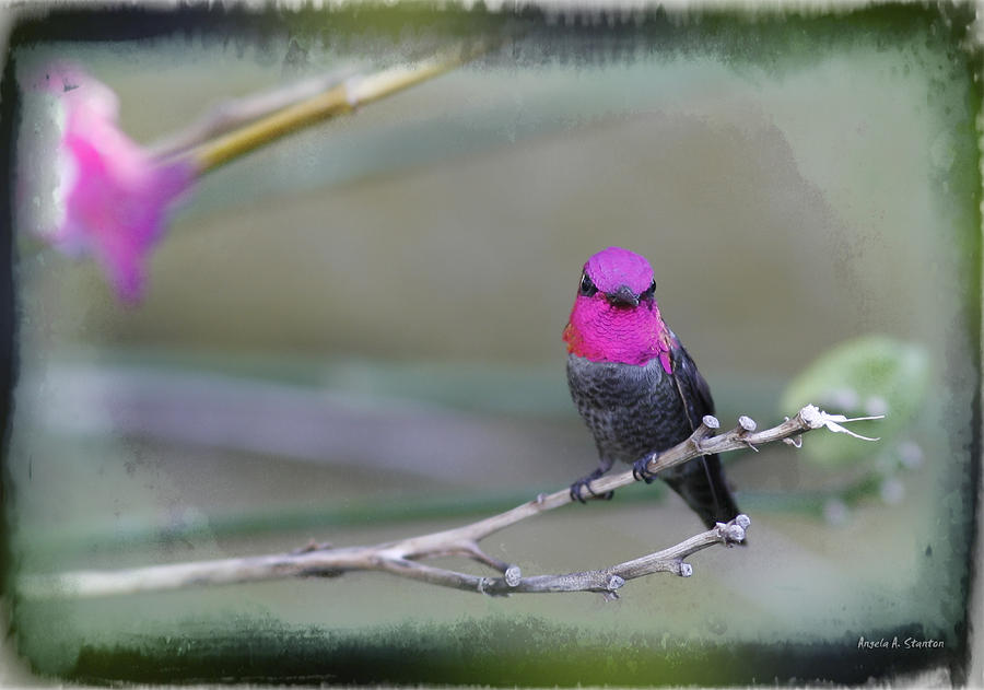 Annas Hummingbird - Male Photograph