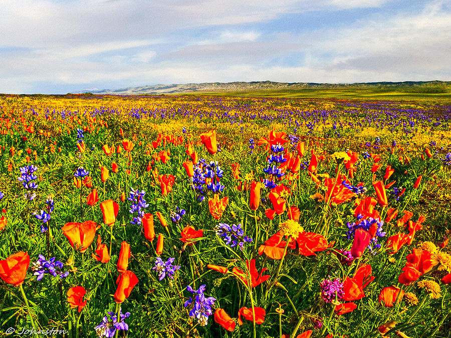 Antelope Valley California Poppy Reserve Photograph  - Antelope Valley California Poppy Reserve Fine Art Print