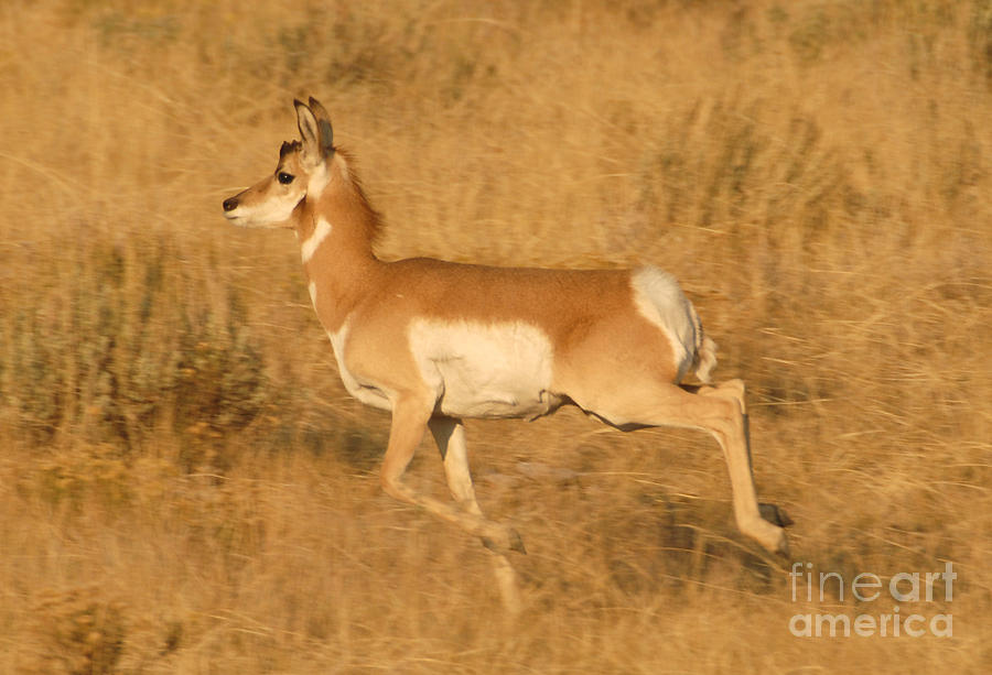 Antelope12 Photograph  - Antelope12 Fine Art Print