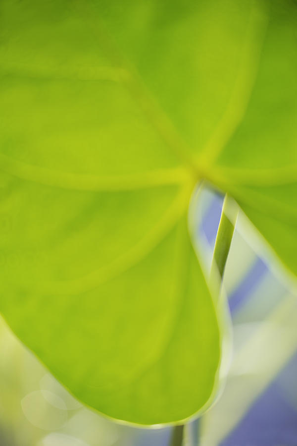 Anthurium Photograph