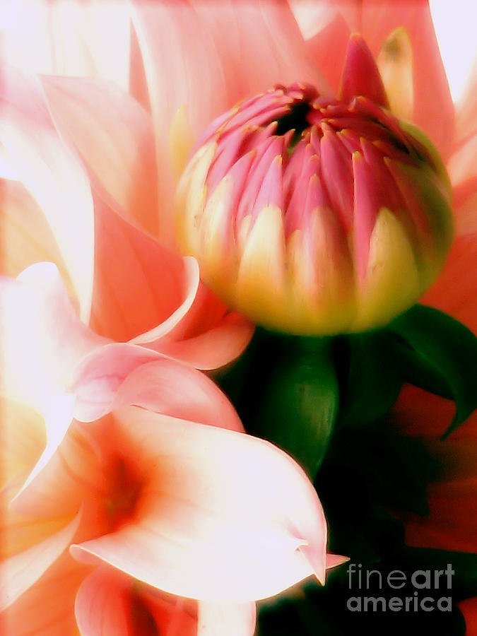 Dahlia Photograph - Anticipation by Rory Sagner