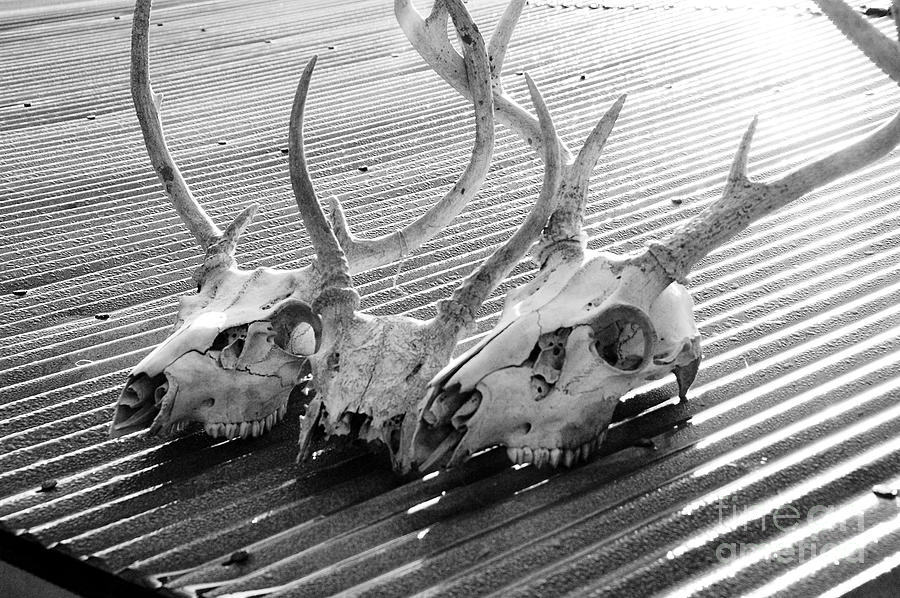Antlers On Tin Roof Photograph  - Antlers On Tin Roof Fine Art Print