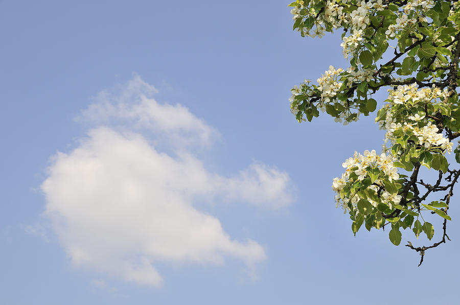 Apple Blossom In Spring Blue Sky Photograph