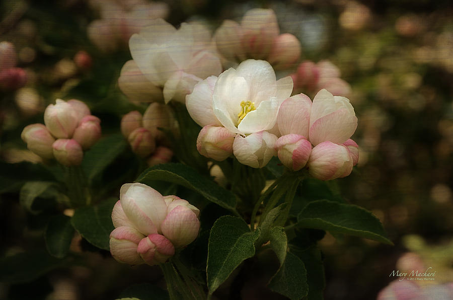 Apple Photograph - Apple Blossom Time by Mary Machare