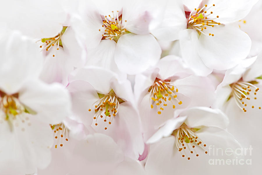 Apple Blossoms Photograph