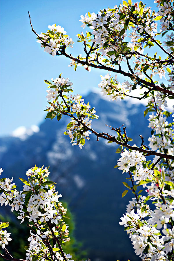 Apple Blossoms Frame The Rockies Photograph