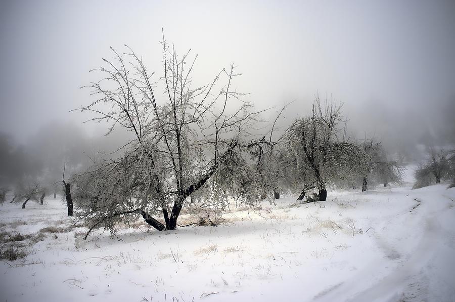 Apple Orchard Photograph