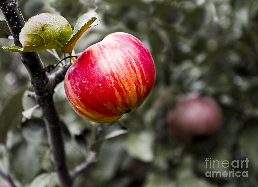 Apples Photograph - Apple by Steven Ralser