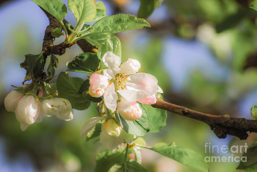 Apple Photograph - Apple Tree Blossom - Vintage by Hannes Cmarits