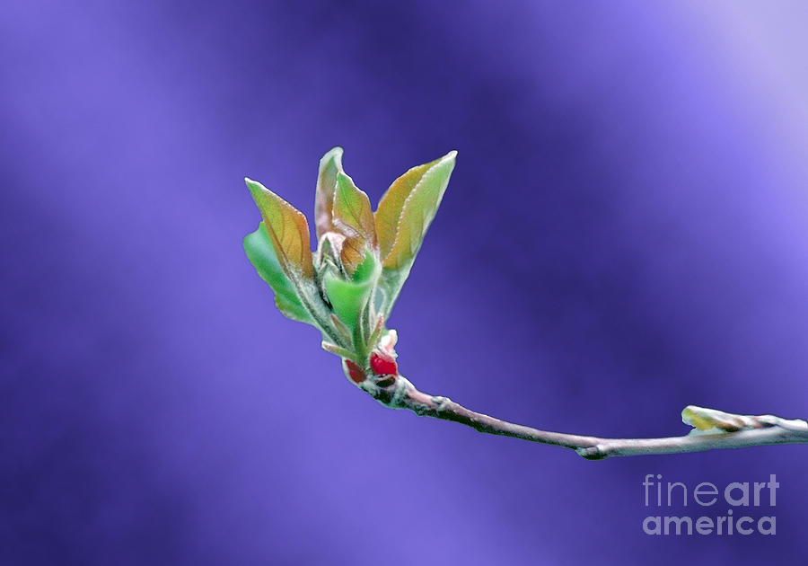 Apple Tree Blossom Spring Flower Bud Photograph
