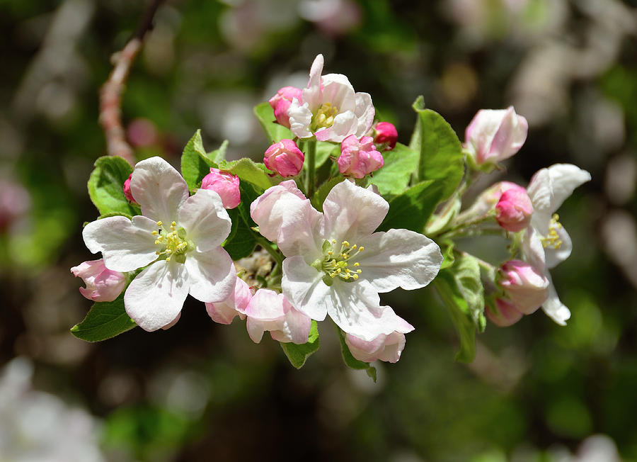 apple tree blossoms photograph by john brink. Black Bedroom Furniture Sets. Home Design Ideas