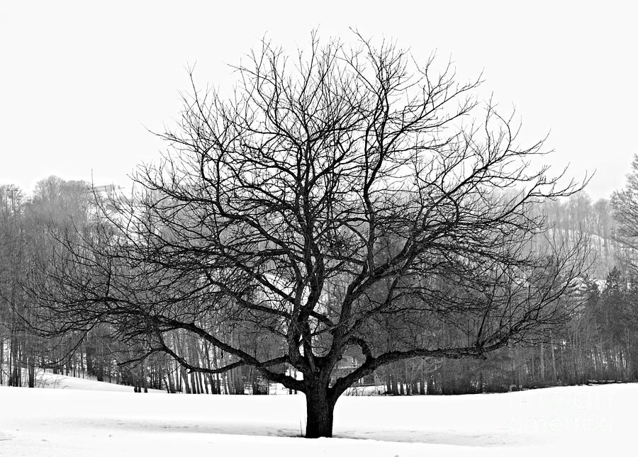 Apple Tree In Winter Photograph