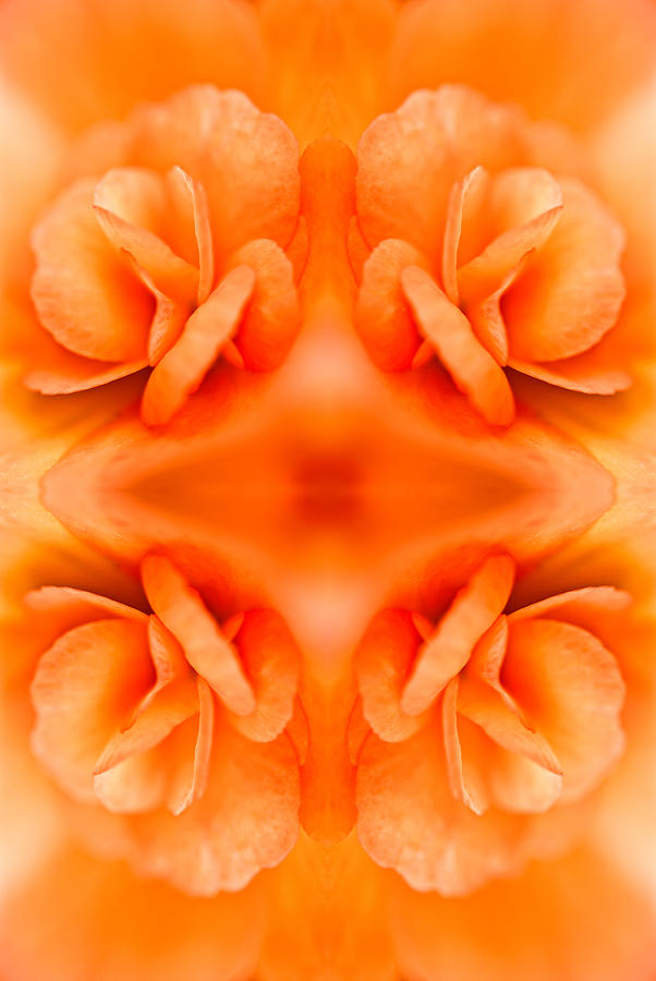 Apricot Begonia Photograph