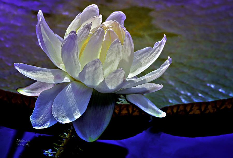 Long Wood Victoria Water Lily Photograph - Aquatic Beauty In White by Julie Palencia