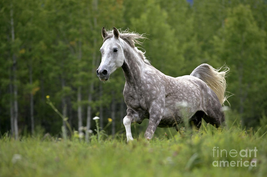 Dapple Gray Arabian Horse