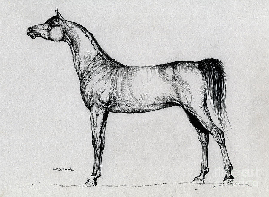 Arabian Horse Drawing 34 Drawing  - Arabian Horse Drawing 34 Fine Art Print