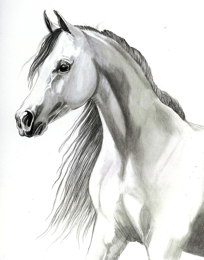 Arabian Horse Head Drawings