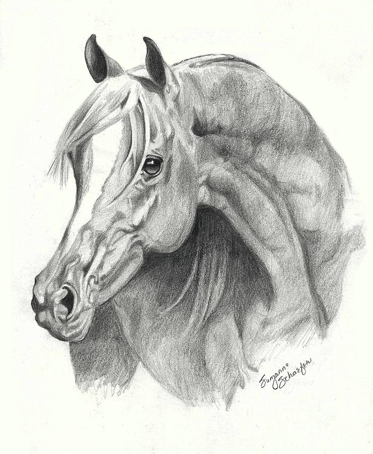Arabian Stallion Drawing  - Arabian Stallion Fine Art Print