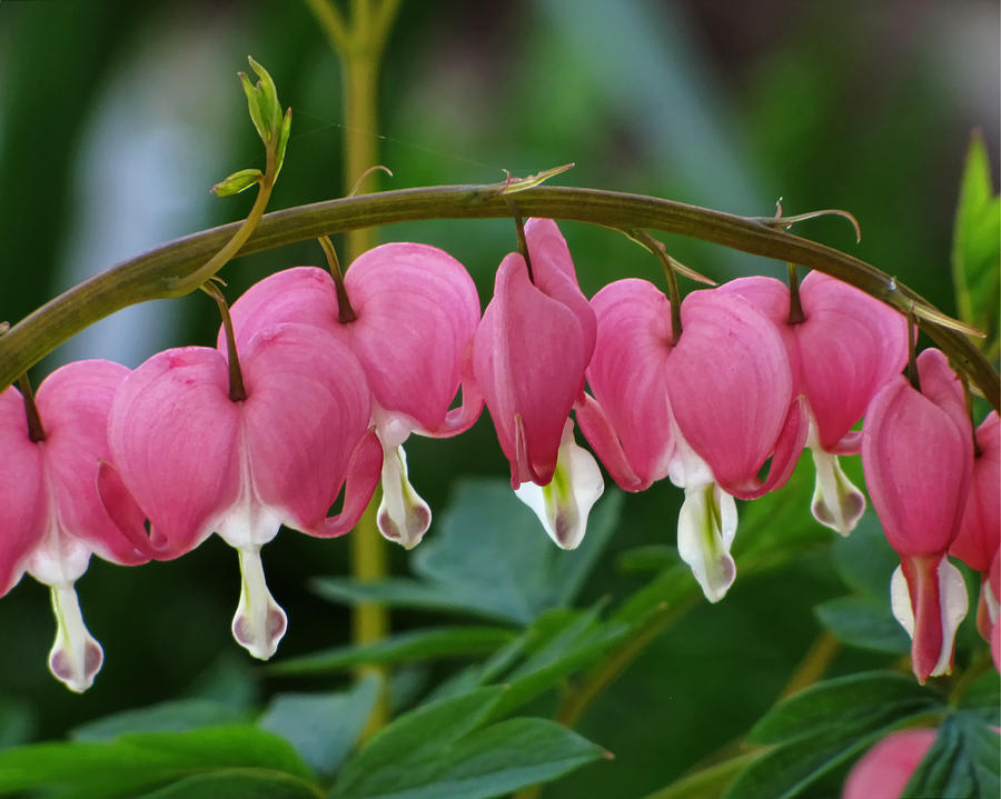 Arching Bleeding Hearts Photograph  - Arching Bleeding Hearts Fine Art Print