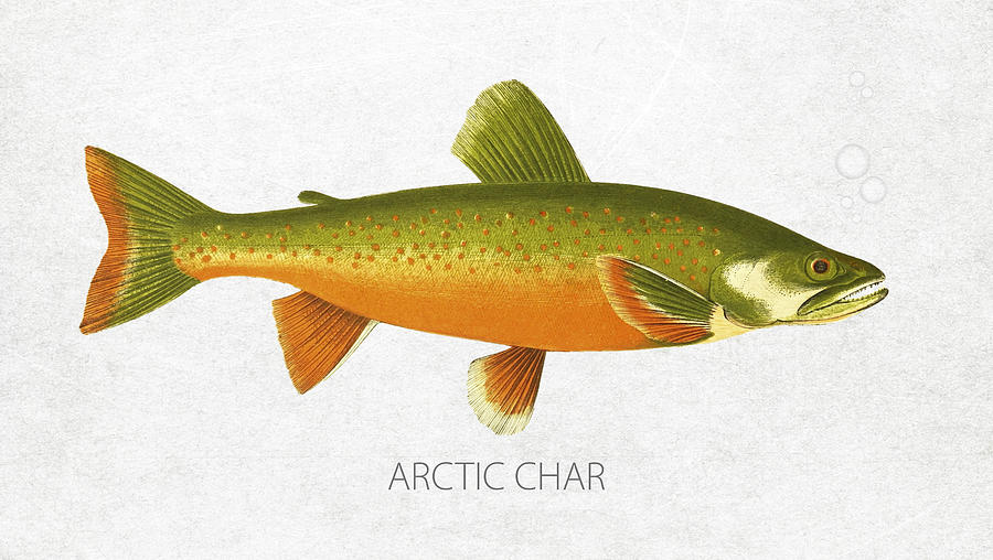 Arctic char drawing by aged pixel for Arctic char fish