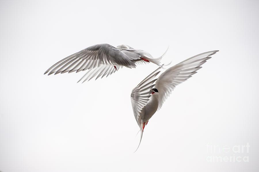 Aerial Photograph - Arctic Tern - Sterna Paradisaea - Pas De Deux  by Ian Monk