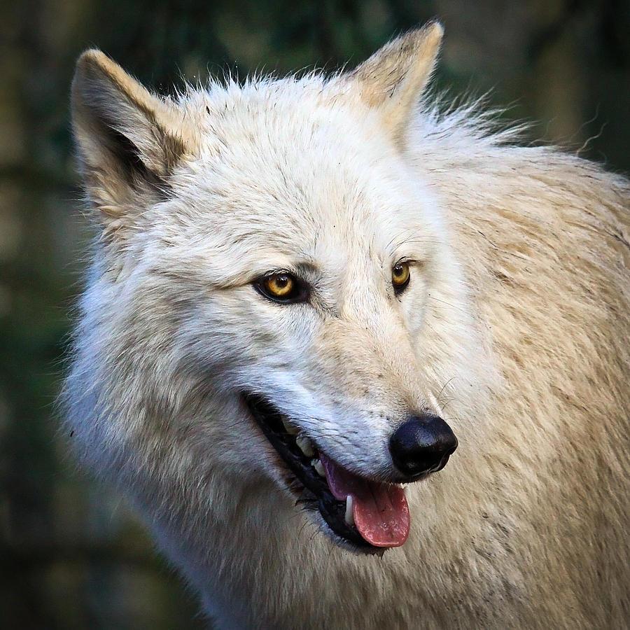 Arctic White Wolf Photograph By Steve McKinzie
