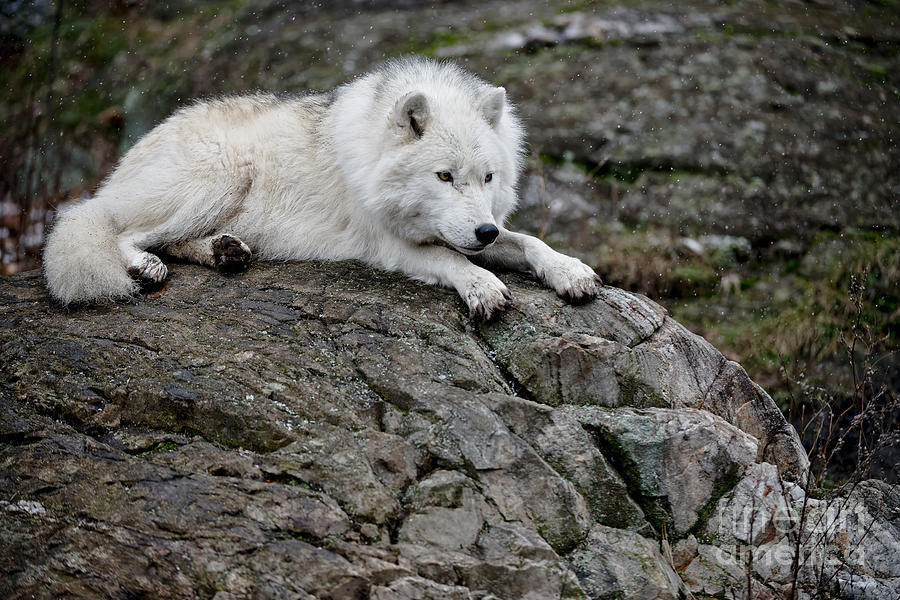 Arctic Wolf Pictures 153 Photograph By Wolves Only