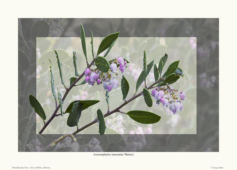 Manzanita Photograph - Arctostaphylos Manzanita monica by Saxon Holt