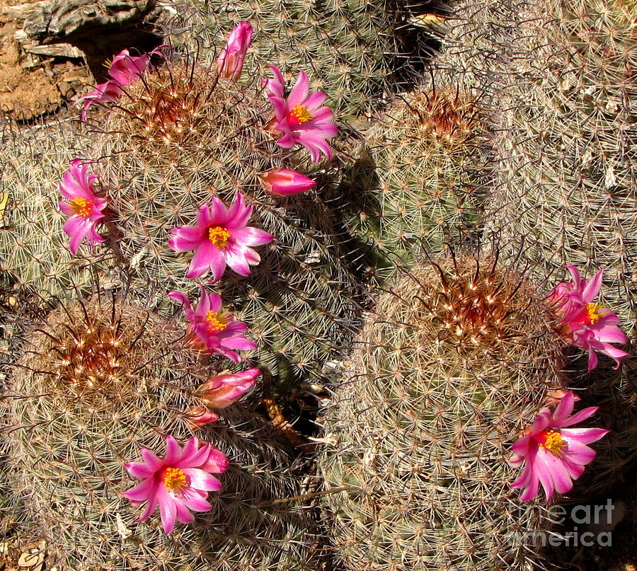 Arizona fishhook cactus photograph by marilyn smith for Fish hook cactus