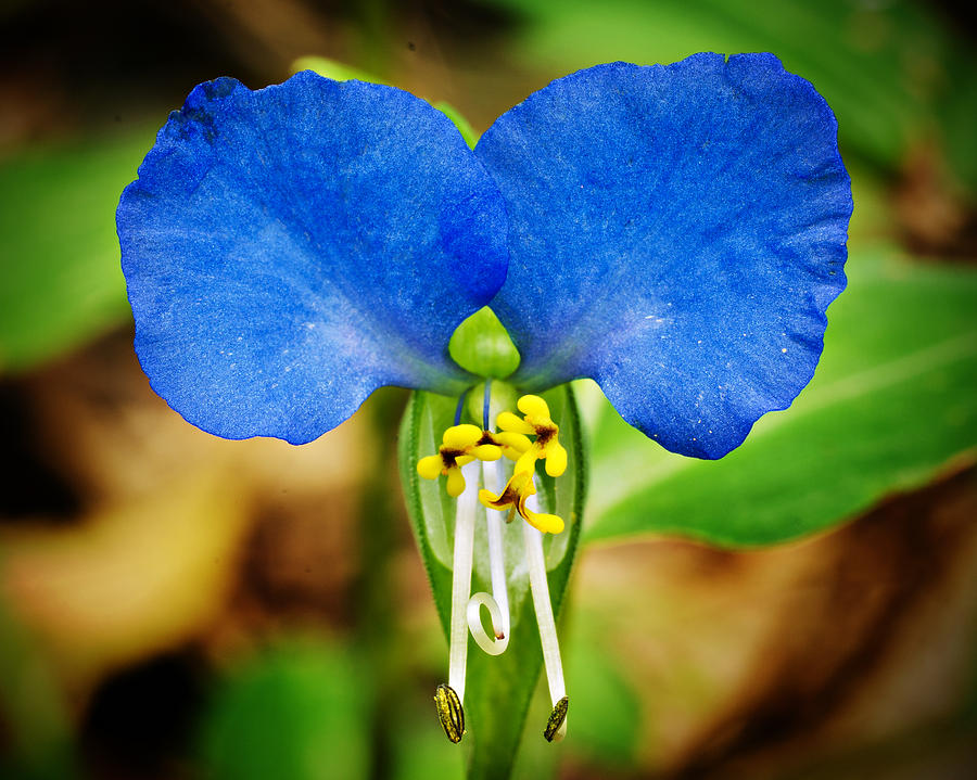 Arkansas Asiatic Dayflower Photograph  - Arkansas Asiatic Dayflower Fine Art Print