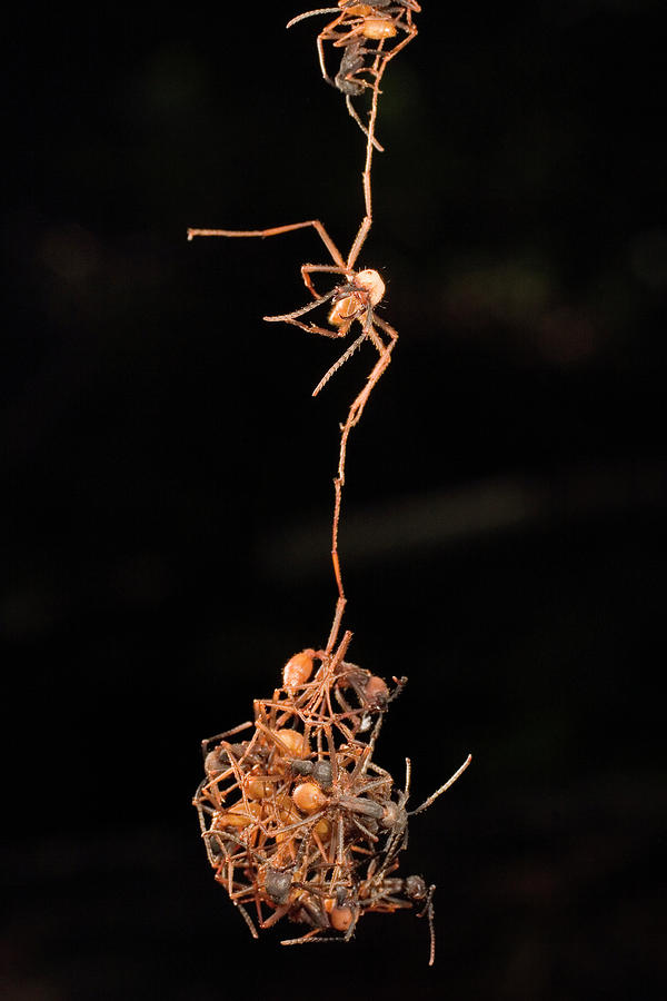 Army Ant Photograph - Army Ants Building Bivouac by Mark Moffett