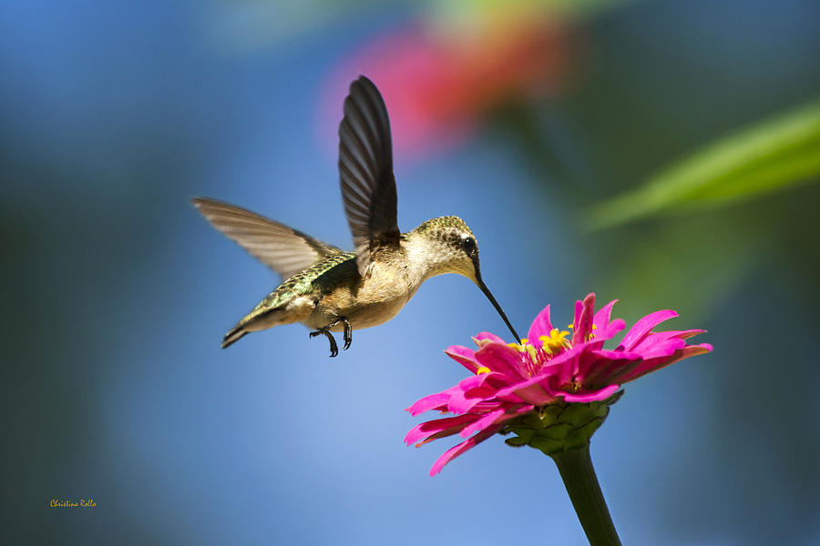 Art Of Hummingbird Flight Photograph