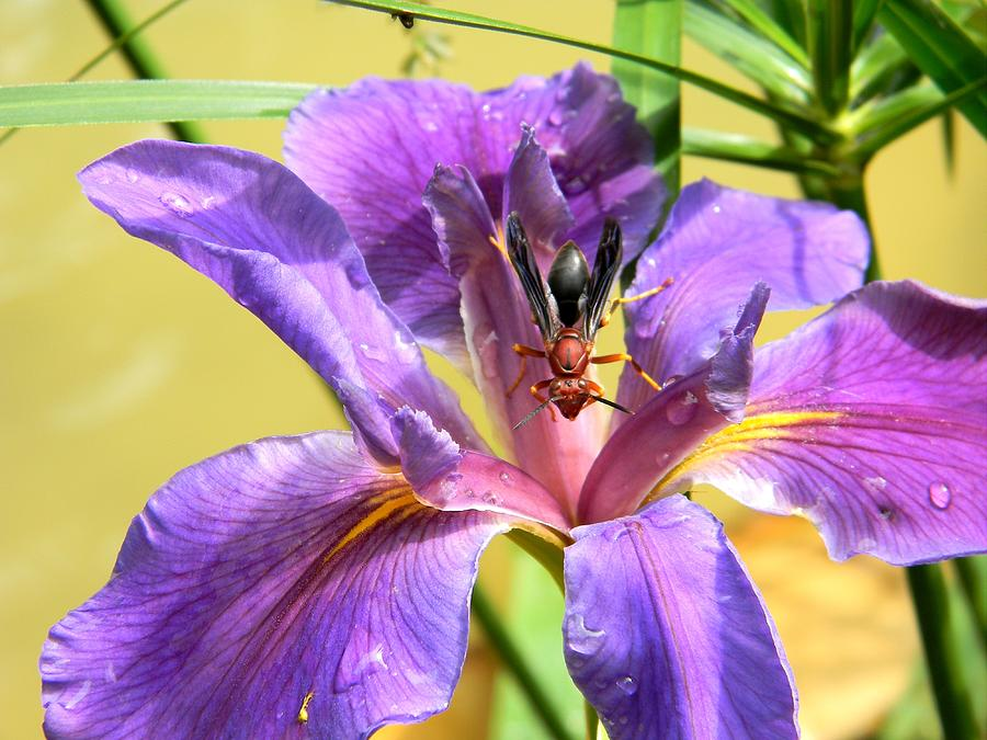 Artistic Purple Iris And Wasp Photograph  - Artistic Purple Iris And Wasp Fine Art Print